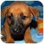 Photo 3 - Shepherd (Unknown Type)/Shepherd (Unknown Type) Mix Puppy for adoption in Broomfield, Colorado - Biff