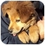 Photo 3 - Golden Retriever/Chow Chow Mix Puppy for adoption in Sacramento, California - Marcie