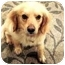 Photo 1 - Golden Retriever/Spaniel (Unknown Type) Mix Dog for adoption in Westampton, New Jersey - Scooby-PERFECT