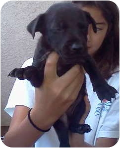 Catahoula Leopard Dog/Labrador Retriever Mix Puppy for adoption in Simi Valley, California - Lucky