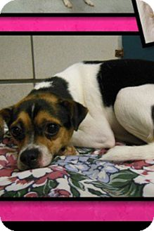 Rat Terrier/Jack Russell Terrier Mix Dog for adoption in White Settlement, Texas - Martha - adoption pending