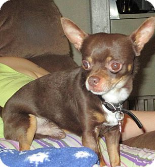 Chihuahua Dog for adoption in Puyallup, Washington - Goofy