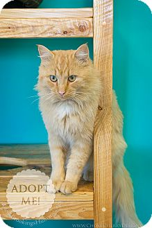Domestic Longhair Cat for adoption in Brookings, South Dakota - Tarzan