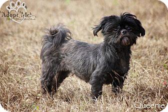 Shih Tzu Mix Dog for adoption in Wilmington, Delaware - Queenie