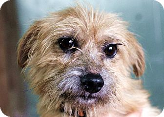 Cairn Terrier Mix Dog for adoption in Plainfield, Illinois - Katrina