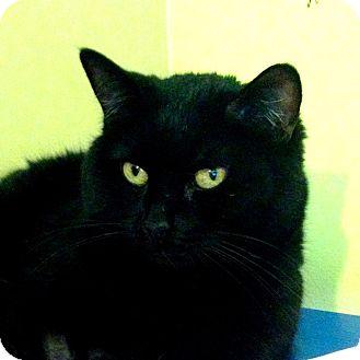Domestic Shorthair Cat for adoption in Calgary, Alberta - Memphis Belle