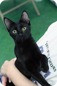 Domestic Shorthair Cat for adoption in St. Louis, Missouri - Licorice