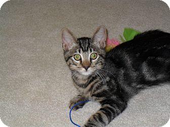 Domestic Shorthair Kitten for adoption in Redondo Beach, California - Rascal