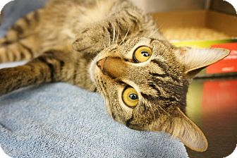 Domestic Shorthair Cat for adoption in Houston, Texas - William