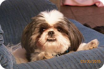 Shih Tzu Dog for adoption in Mary Esther, Florida - Jojo