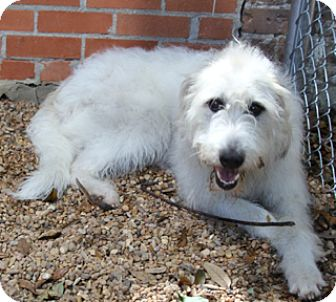 Irish Wolfhound Mix Dog for adoption in Norwalk, Connecticut - Crystal