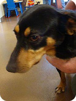 Terrier (Unknown Type, Medium)/Rat Terrier Mix Dog for adoption in Decatur, Georgia - Herschel NEEDS FOSTER