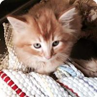 Adopt A Pet :: Amaretto - McDonough, GA