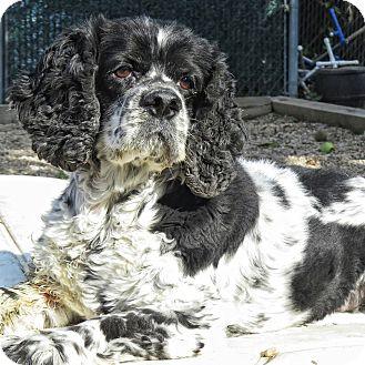 Cocker Spaniel Mix Dog for adoption in Freeport, New York - Fred