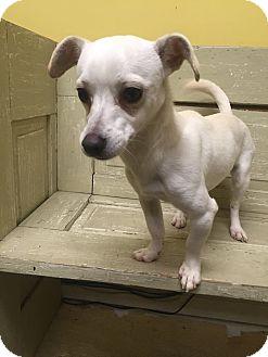 Chihuahua/Dachshund Mix Dog for adoption in Warner Robins, Georgia - George