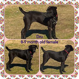 Pointer/Pointer Mix Dog for adoption in Ravenna, Texas - Dru