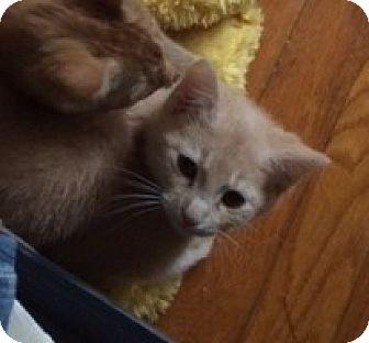 Domestic Shorthair Kitten for adoption in Richmond, Virginia - Milo