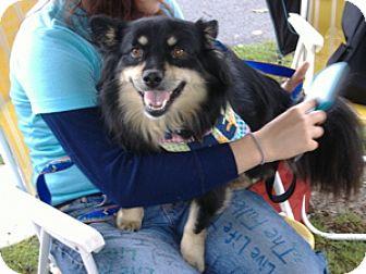 Sheltie, Shetland Sheepdog Mix Dog for adoption in Tyrone, Pennsylvania - Shilo