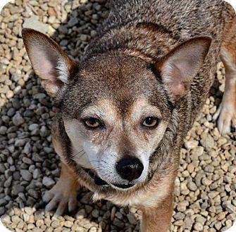Chihuahua/Corgi Mix Dog for adoption in Meridian, Idaho - Molly