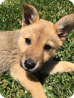 Shiba Inu/Shepherd (Unknown Type) Mix Puppy for adoption in San Diego, California - Kira