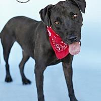 Labrador Retriever Mix Dog for adoption in Castaic, California - Coalton