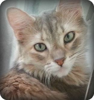 Domestic Mediumhair Cat for adoption in Tucson, Arizona - Helen
