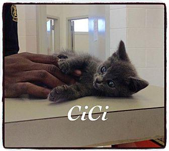 Domestic Shorthair Kitten for adoption in Dillon, South Carolina - CiCi