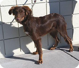 Australian Shepherd Mix Dog for adoption in Idaho Falls, Idaho - Julio