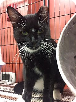 Domestic Shorthair Cat for adoption in North Haledon, New Jersey - Mr. Jitters