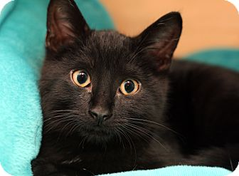Domestic Shorthair Kitten for adoption in Royal Oak, Michigan - XANDER