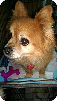 Pomeranian Dog for adoption in Ogden, Utah - Bailey