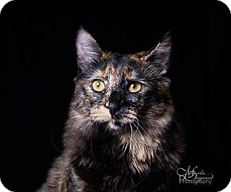 Maine Coon Cat for adoption in Chino Hills, California - Larkin