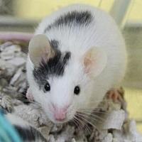 Adopt A Pet :: Matty - Benbrook, TX