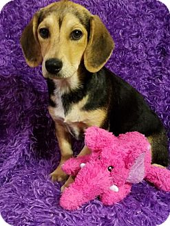 Beagle/Hound (Unknown Type) Mix Puppy for adoption in Elkton, Maryland - Bambi
