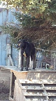 Ibizan Hound Mix Dog for adoption in Tweed, Ontario - Harrison