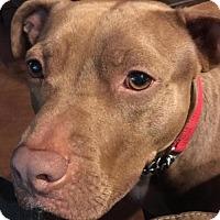 American Staffordshire Terrier Mix Dog for adoption in Olympia, Washington - Splash