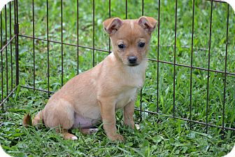 Chihuahua Mix Puppy for adoption in Pikeville, Maryland - Delilah