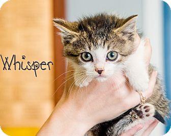 Domestic Shorthair Kitten for adoption in Somerset, Pennsylvania - Whisper