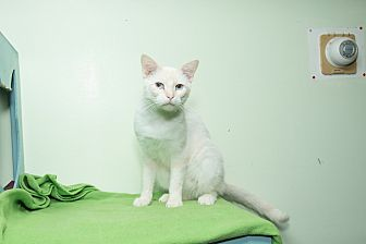 Siamese Cat for adoption in Chicago, Illinois - Charlie