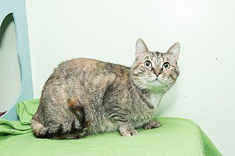 Polydactyl/Hemingway Cat for adoption in Chicago, Illinois - Ashley