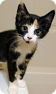 Domestic Shorthair Kitten for adoption in Louisa, Virginia - Kylee