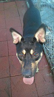 Shepherd (Unknown Type) Mix Dog for adoption in Daleville, Alabama - Bear