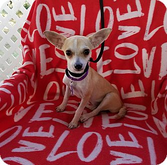 Chihuahua/Terrier (Unknown Type, Small) Mix Dog for adoption in Toronto, Ontario - Kaydia