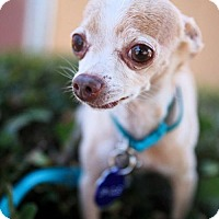 Adopt A Pet :: *Spindle Seashell - Pittsburg, CA