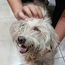 Adopt A Pet :: Baskota Blind MaltiShih