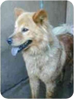 Chow Chow Mix Dog for adoption in Vista, California - Blueberry