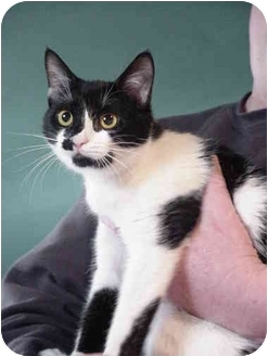 Domestic Shorthair Cat for adoption in Chesapeake, Virginia - Jazzy