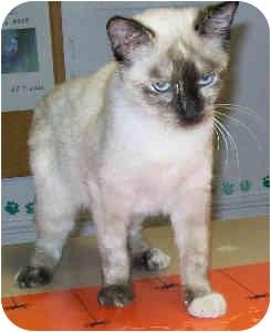 Siamese Cat for adoption in Murphysboro, Illinois - Snowshoe