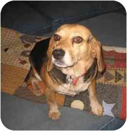Beagle Mix Dog for adoption in Phoenix, Arizona - Lulu