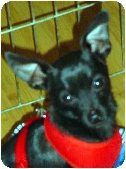 Chihuahua Dog for adoption in Quail Valley, California - Cowboy